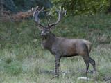 Red deer (Cervus elaphus) - 224025049