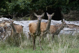 Red deer (Cervus elaphus) - 224027404