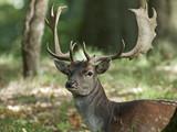 Fallow deer (Dama dama) - 224032005