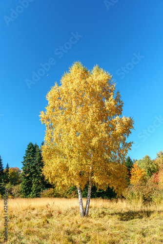 Scenic golden autumn sunny day countryside landscape with two trunk yellow birch tree on forest glade under blue sky. West Caucasus - 224034608