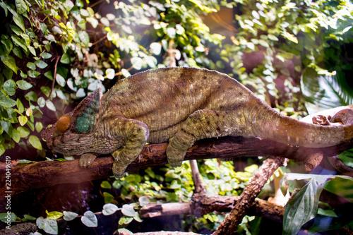 Kameleon, gad, brązowy