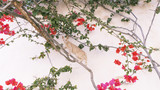 Cat redhead on a bougainvillea liana against a white wall background - 224052810