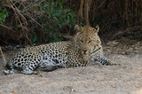Leopard Lying in Sand