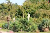 Цветущая юкка в парке  - 224074042
