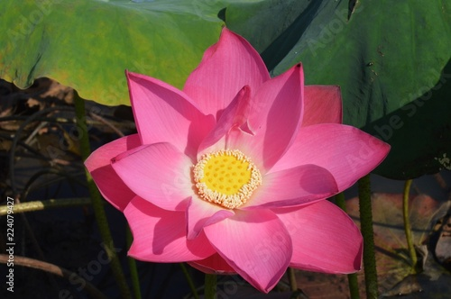 a close up of lotus flower  - 224079427