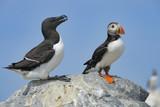 Atlantic Puffin and Razorbill Auk, Machias Seal Island