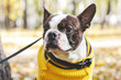 Portrait of Boston Terrier dog in the autumn Park