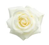 White rose isolated on white background. - 224107241