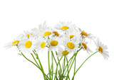Bouquet of Chamomiles ( Ox-Eye Daisy ) isolated on a white background. - 224107673