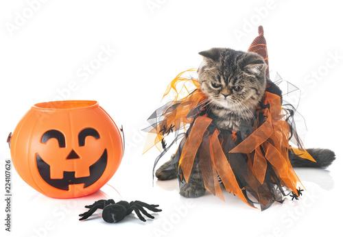 exotic shorthair kitten and hallowen - 224107626