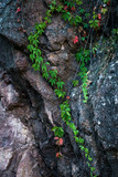 beautiful climbing ivy on rocky cliff natural background - 224110840