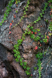 climbing ivy on rocky cliff natural background - 224110856