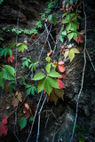 climbing ivy on rocky cliff natural background closeup - 224110866