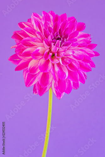Image of the flower dahlia on purple background - 224132405