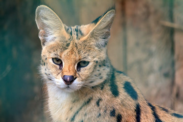 Beautiful close up portrait of The serval (Leptailurus serval), a wild cat native to Africa with big ears.