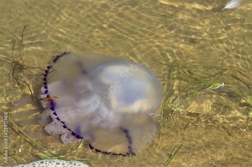 Fototapeta Jellyfish in the sea