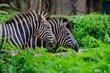 A foal and mother Plains zebra walking through long green grass