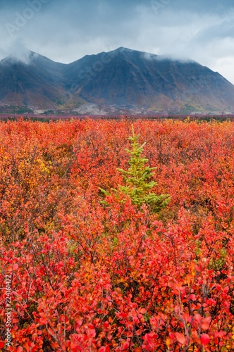 Lone Tree on a cloudy autumn day - Alaska - 224161472
