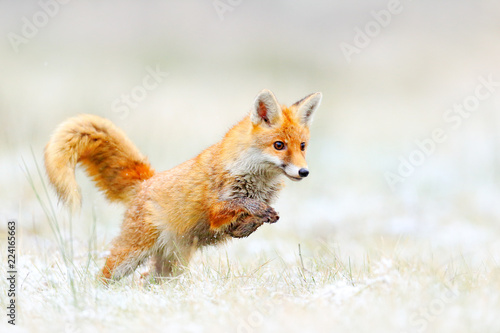 Leinwandbild Motiv Red Fox jumping, Vulpes vulpes, wildlife scene from Europe. Orange fur coat animal hunting in the nature habitat. Fox jump on the green forest meadow with first snow. Wildlife scene from nature.