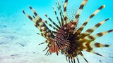 Close-up of a Spotfin Lionfish (Pterois Antennata), Maldives. - 224169666
