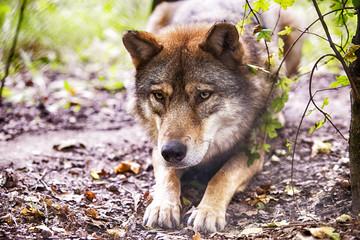wolf schaut in die augen