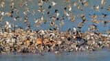 Flock of red-billed queleas (Quelea quelea) drinking water, Etosha National Park, Namibia.