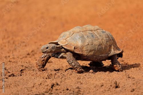 Fototapeta Leopard tortoise (Stigmochelys pardalis) walking, South Africa.