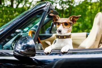 dog drivers license  driving a car
