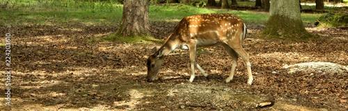 süßes bambi reh im wald beim grasen - 224203610