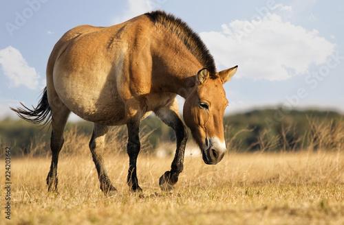 Equus przewalskii, wild Horse