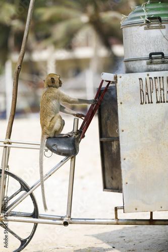Fototapeta Monkey sits on a bicycle in a beach