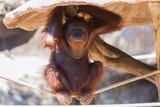 Portrait smiling Orangutans sit for the photographer take a picture.
