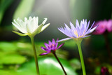 Lotus flowers in the garden, Nature background.