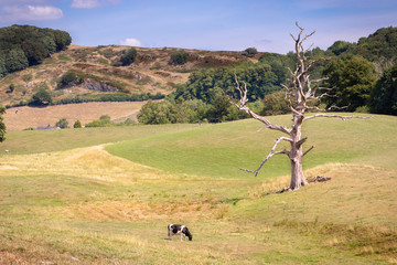 Cow on a pasture and a lonely dead tree in scenic Engish countryside in the Lake District, UK.
