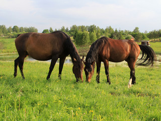 two horses grazing on green field © funnyhorses