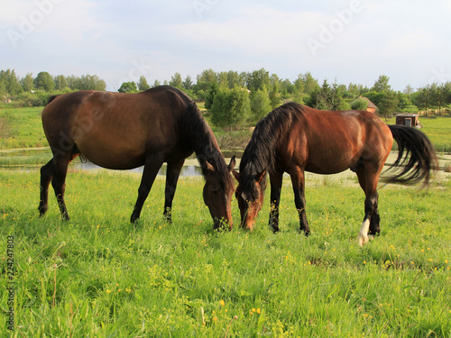 two horses grazing on green field