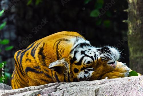 Fototapeta Sleepy cute Tiger