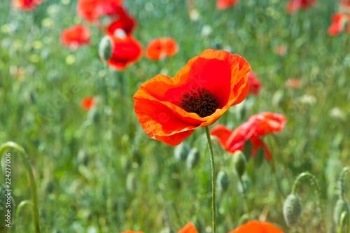 Red poppy flowers in a field - 224277006