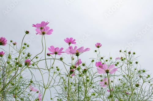 秋に花を咲かせるピンクのコスモスの花