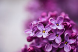 Closeup of a violet purple lilac flowers in the spring - 224360644