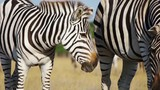 Zebra and foal, slow motion - 224363249
