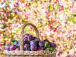 Plum harvest. Plums in the basket. - 224373071
