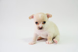 chihuahua is a white sugar, one month old, on a white background.