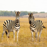 Cape mountain zebra (Equus zebra) mare with foal, Mountain Zebra National Park, South Africa