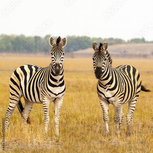 Cape mountain zebra (Equus zebra) mare with foal, Mountain Zebra National Park, South Africa - 224398827