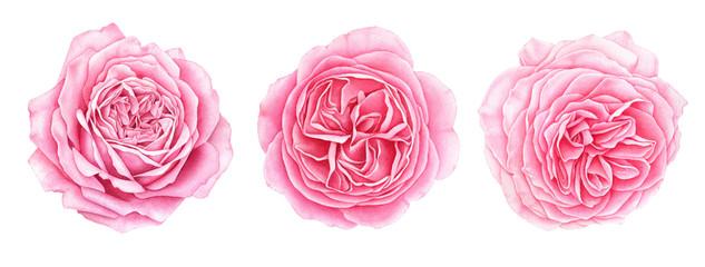 Set of beautiful garden pink roses isolated on white background. Hand drawn watercolor botanical illustration. © evdakovka