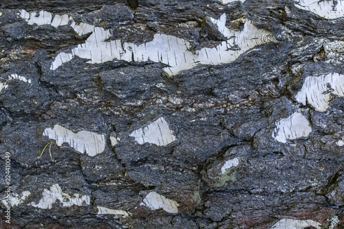 Horizontal texture Bark of old birch tree - 224410049