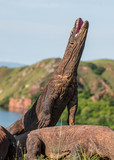 The Komodo dragon stands on its hind legs and open mouth.. Natural habitat. Scientific name: Varanus komodoensis. Natural background is Landscape of Island Rinca. Indonesia.