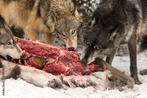 Trio of Grey Wolves (Canis lupus) Chew at White-Tail Deer Carcass