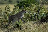 Cheetah from Masai Mara